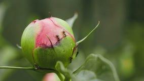 Formiche sulle peonie e sui germogli di colori Immagine Stock