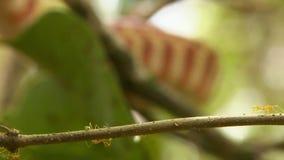 Formiche verdi dell'albero che camminano sul piccolo ramo archivi video