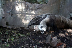 Formichiere di Ardvark, zoo di Audubon Immagini Stock Libere da Diritti