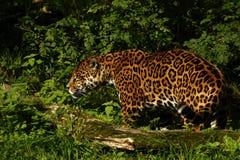 Formidabel jaguar arkivfoto