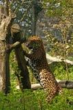 Formidabel jaguar royaltyfri foto