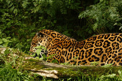 Formidabel jaguar royaltyfria bilder
