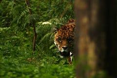 Formidabel jaguar fotografering för bildbyråer