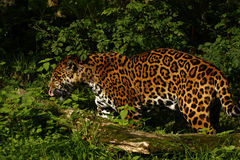 Formidabele Jaguar stock foto's