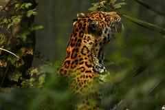 Formidabele Jaguar stock foto