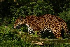 Free Formidable Jaguar Stock Photos - 44901023