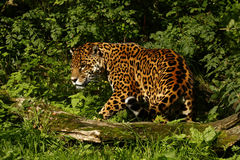 Formidable Jaguar. Jaguars are formidable apex predators, that play an important part in our ecosystems stock image