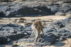 Formidable monkey walking on the beach on an uninhabited island Royalty Free Stock Image