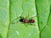 Formiga alaranjada que rasteja em uma folha verde Foto de Stock