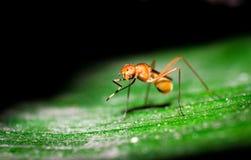 Formiga da mosca fotografia de stock