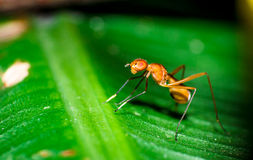 Formiga da mosca fotografia de stock royalty free