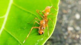A formiga de Kerengga gosta da ligação em ponte Imagem de Stock