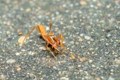 A formiga de Kerengga gosta da ligação em ponte Foto de Stock Royalty Free