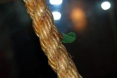 Formiga de Leafcutter Fotos de Stock Royalty Free