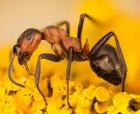 Formiga de madeira, formiga, formigas, rufa de fórmica fotografia de stock royalty free