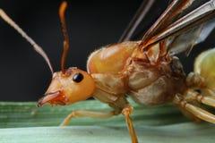 Formiga de rainha em 3Sudeste Asiático Imagens de Stock Royalty Free