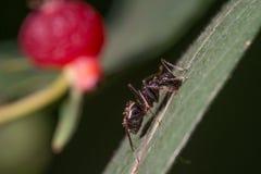 Formiga detalhada da imagem do close up extremo que escala na folha com a baga vermelha no fundo - grande detalhe macro de formig fotografia de stock