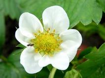 A formiga do jardim aprecia a flor Fotografia de Stock Royalty Free