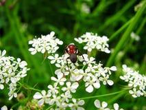 A formiga do jardim aprecia a flor Fotos de Stock