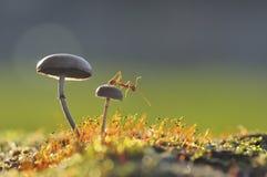 Formiga do tecelão em um cogumelo Foto de Stock Royalty Free