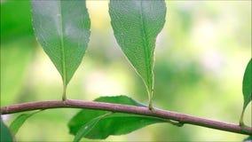 Formiga do tecelão que anda apenas em um close-up do ramo de árvore filme