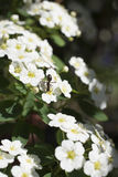 Formiga em um campo de flores brancas minúsculas Fotos de Stock