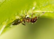 Formiga em uma folha verde Macro Fotografia de Stock