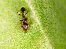 Formiga em uma folha verde Macro Imagem de Stock