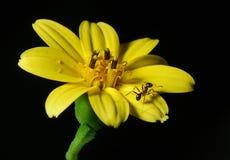 Formiga na flor Imagem de Stock