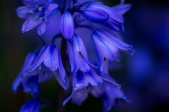 Formiga na flor azul Imagens de Stock Royalty Free
