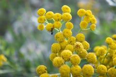 Formiga na flor redonda amarela Foto de Stock