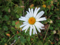 Formiga pequena na flor da margarida Foto de Stock