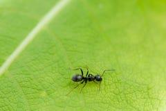 Formiga preta em uma folha verde Fotos de Stock