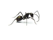 formiga preta isolada no fundo branco foto de stock