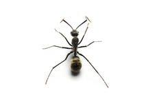 formiga preta isolada no fundo branco Imagens de Stock Royalty Free