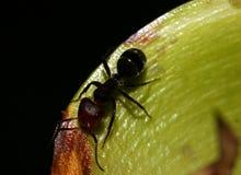 Formiga preta na folha verde Fotografia de Stock