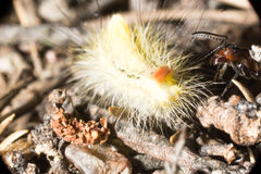 Formiga que ataca uma lagarta Foto de Stock Royalty Free