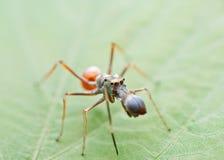Formiga que imita a aranha Imagem de Stock Royalty Free