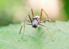 Formiga que imita a aranha Foto de Stock