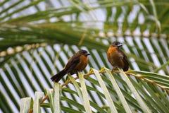 Formiga-Tanager Vermelho-throated, Costa Rica fotografia de stock