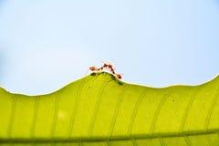 Formiga vermelha Imagem de Stock