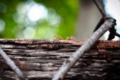 Formiga vermelha na madeira velha imagens de stock
