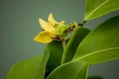 A formiga vermelha no Ylang-ylang imagem de stock
