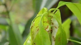 Formiga vermelha que escala na folha da manga do ninho no jardim filme