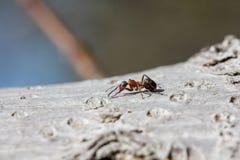 Formiga vermelha (rufa de fórmica) que anda na casca Imagem de Stock