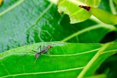 Formiga vermelho-dirigida pequena Fotos de Stock