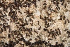 Formigas Imagens de Stock