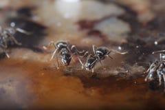 Formigas Imagem de Stock