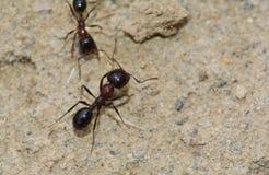 formigas Foto de Stock