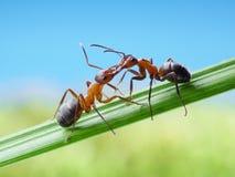 Formigas, cumprimentos com maxilas Fotografia de Stock Royalty Free
